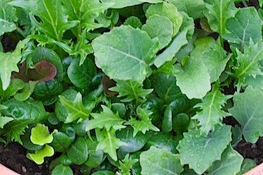Backyard spring veg- 48