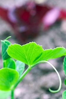 Backyard spring veg- 58