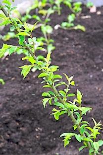 Backyard spring veg- 73