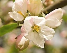 crabapple blossom2 of 2