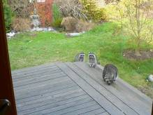 raccoons1 of 2