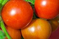 cherries & tomatoes 12