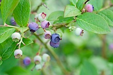blueberries 32
