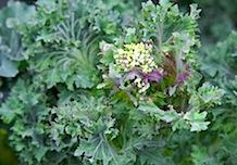 Backyard spring veg- 37