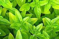 herbs 12