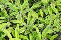 herbs 26