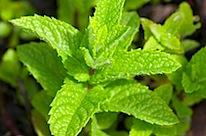 herbs 32
