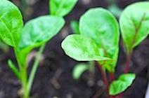 starting winter greens 5