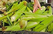 corn  24