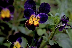 violets&pansies14 of 18