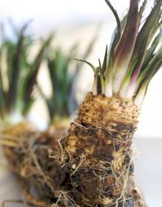 horseradish-1-2