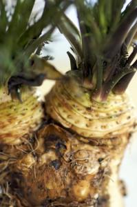 horseradish-12