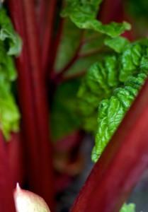rhubarb-2