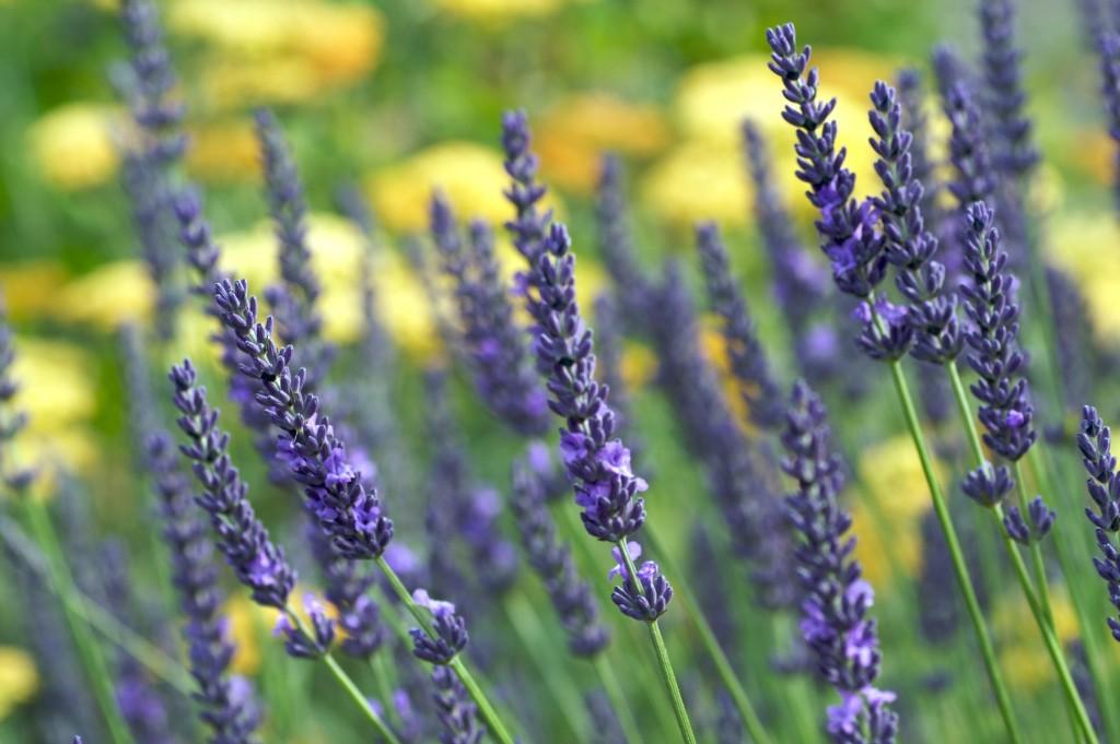 pavlova-lavender