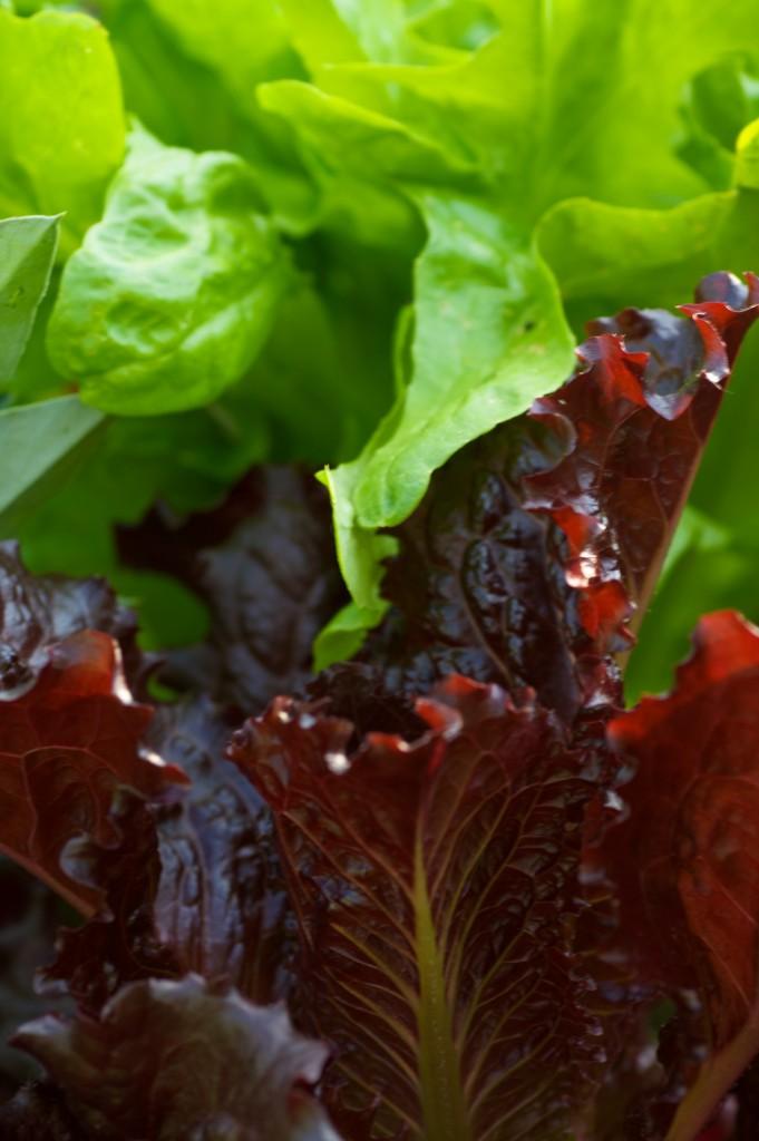summer salad greens