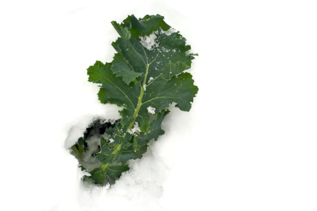 kale-chard-in-snow-1
