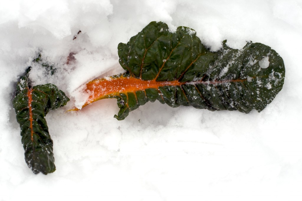 kale-chard-in-snow-2
