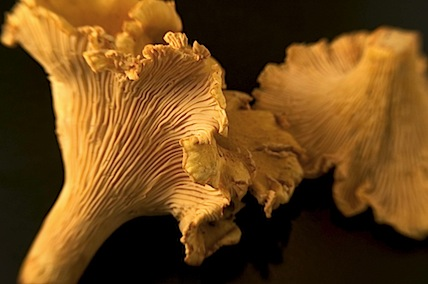 chantrelles9 of 16