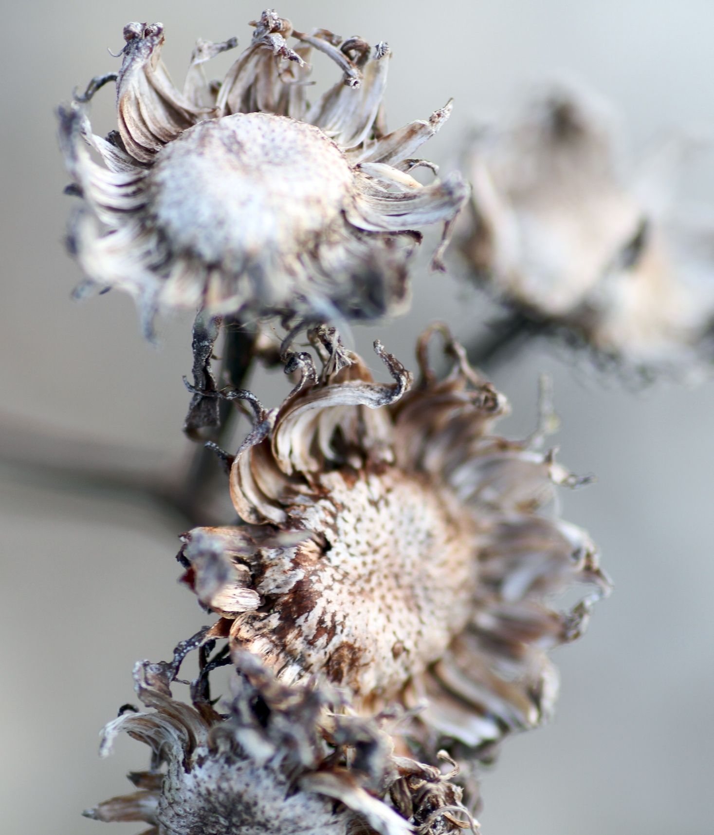 Winter's flowerheads