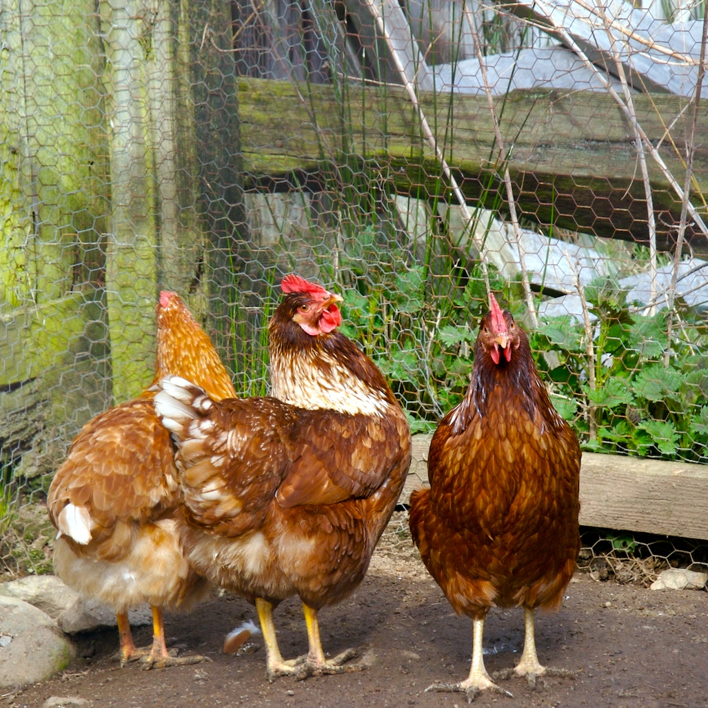 chickens in the barnyard