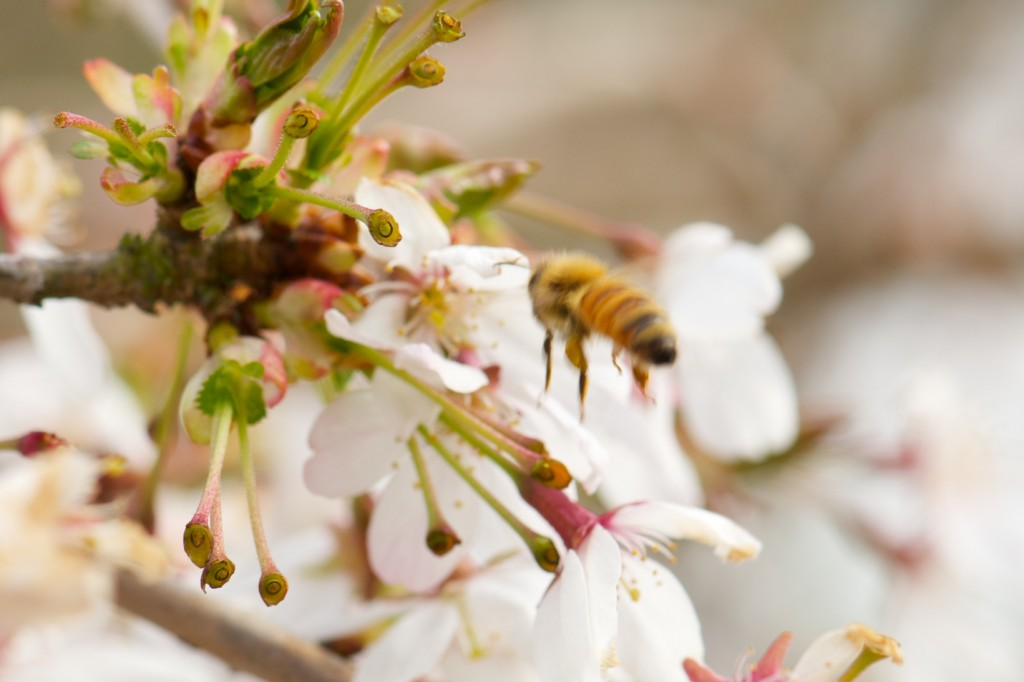 Honeybee on Cherry Blossoms