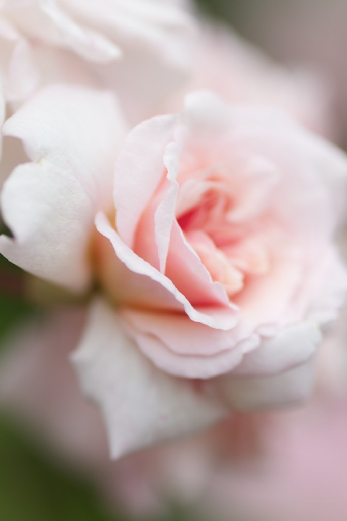 Cecil Bruner Rose