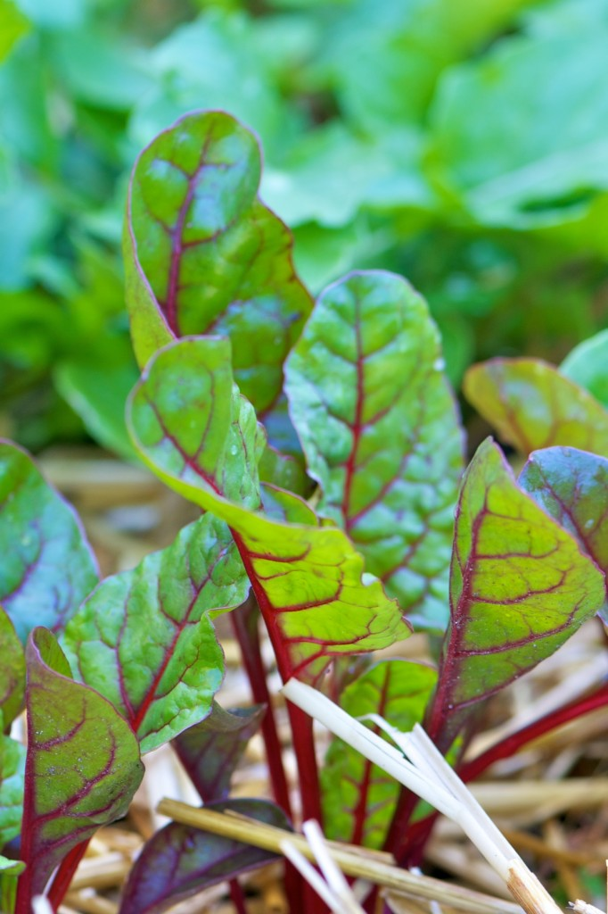 Swiss Chard in the Garden