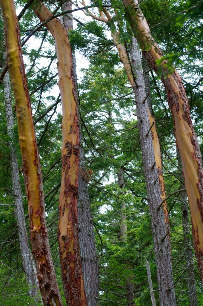 Madrona Trees