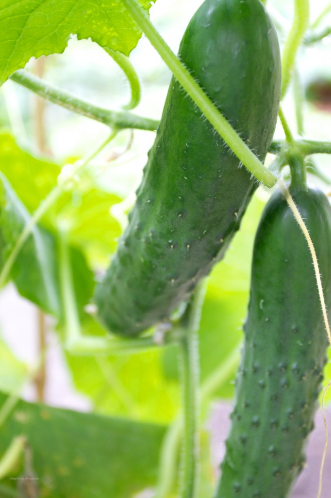 cukes  on the vine