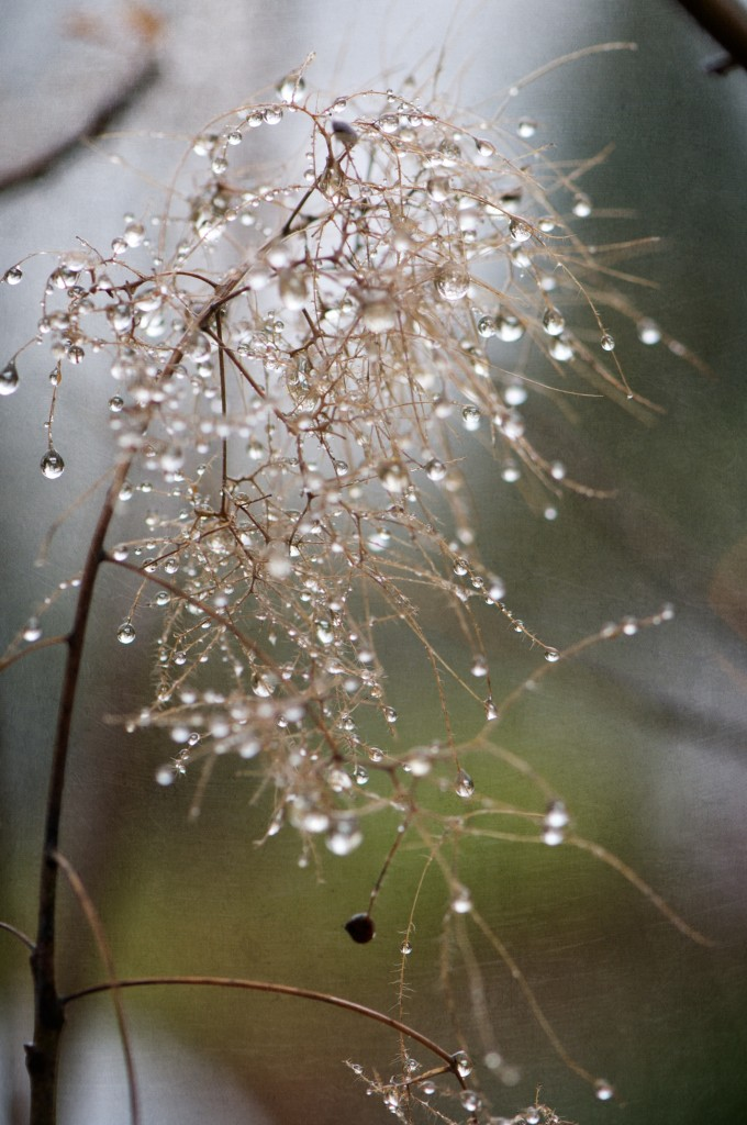 Water Droplets on Smoke Tree