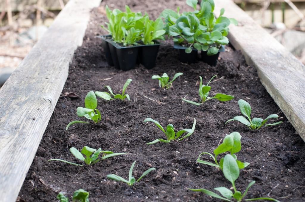 Spinach Vegetable Seedlings