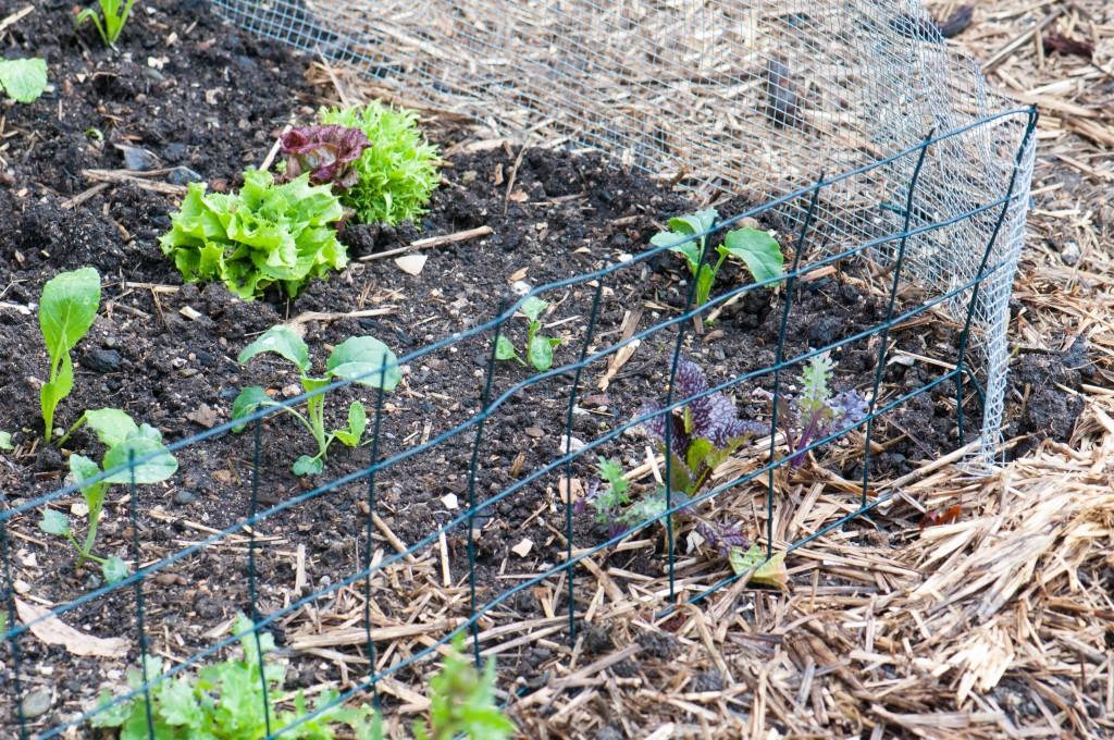 Fenced Vegetable Starts