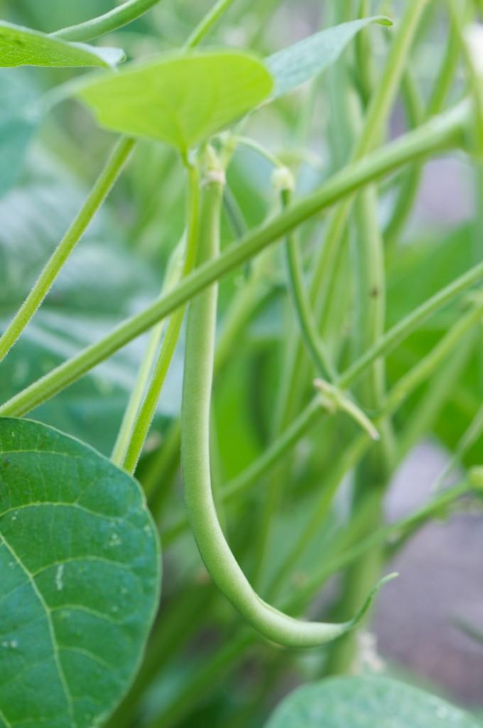 haricots vert green beans